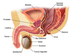 erecție slabă de frig nutriție crescută a erecției